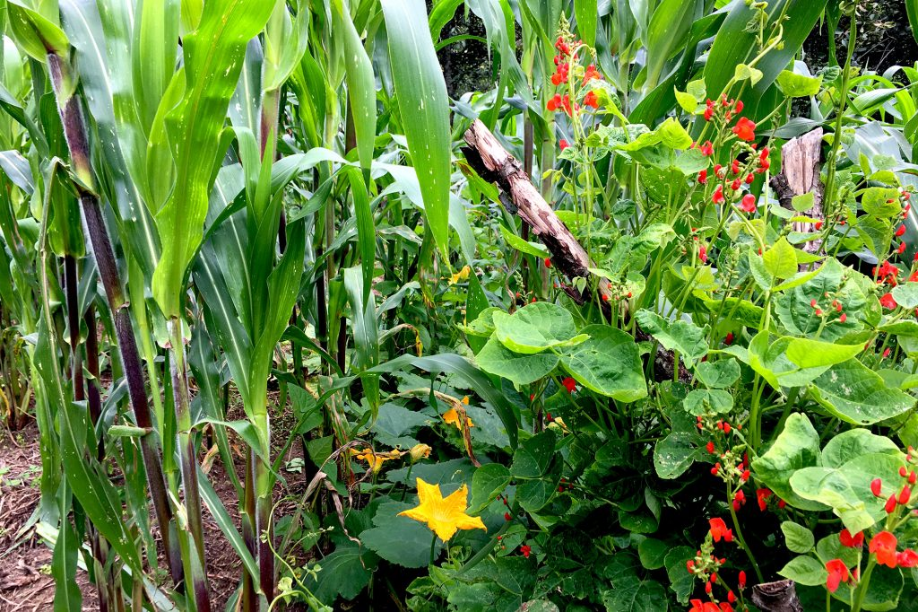Bean Flowers and Squash Blossoms