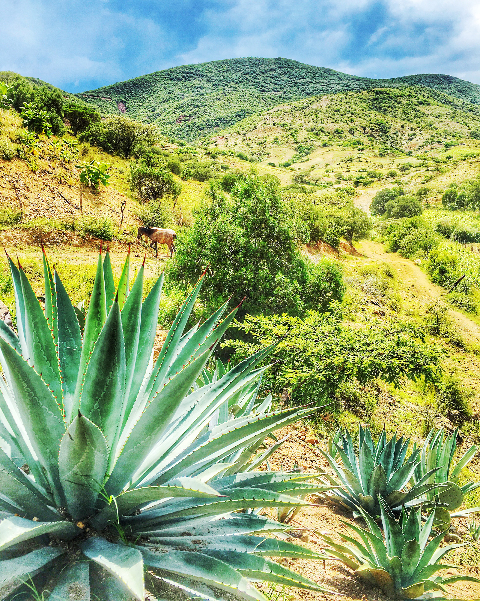 Agave Growing in Oaxaca